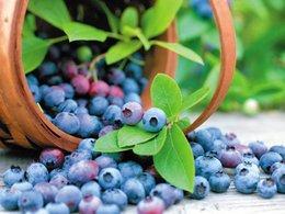 Bilberry Fruit Extract 1000 mcg